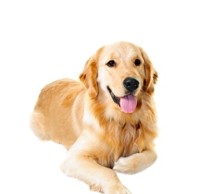 Golden retriever pet dog laying down isolated on white background